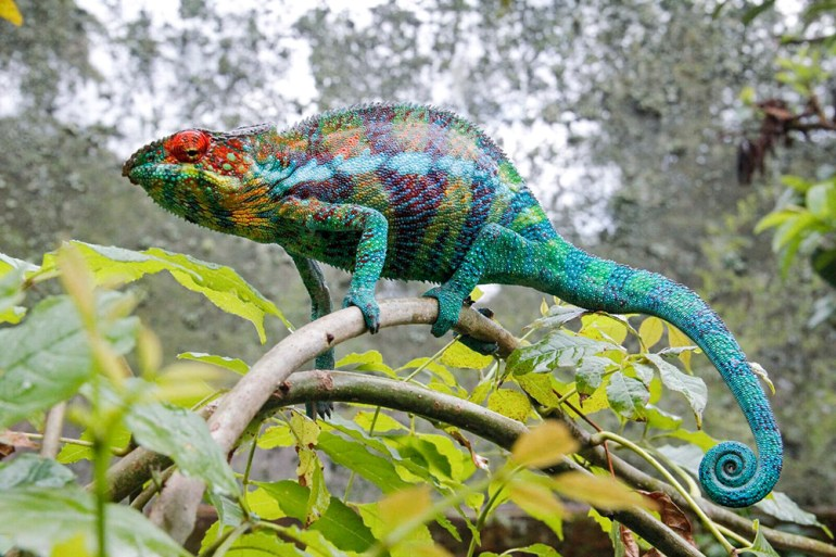 Panther chameleon Madagascar