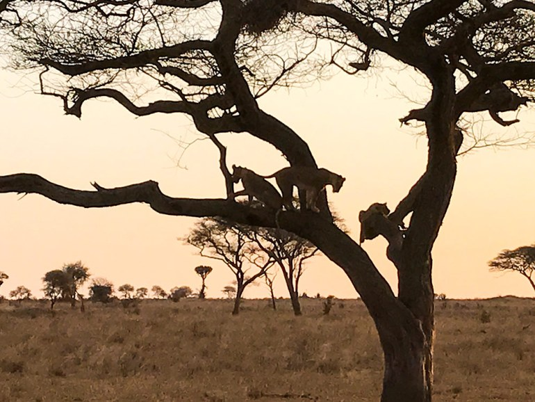 Lionesses in a tree in the Serengeti Tanzania