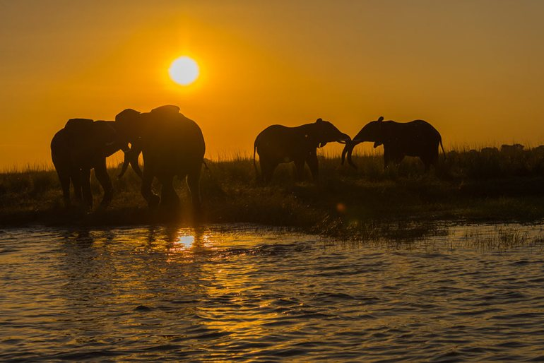Young male elephants learning to assert their dominance, Chobe National Park