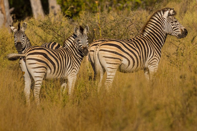 Zebras checking us out in the Okavango Delta, Botswana