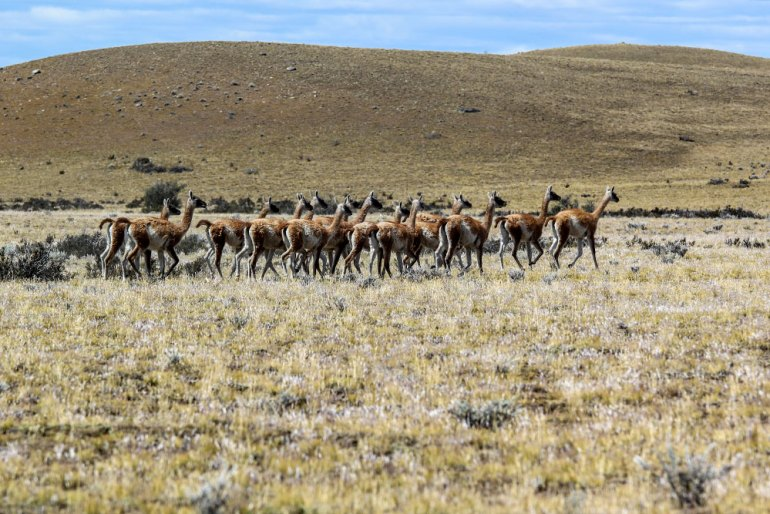 guanaco herd in patagonia