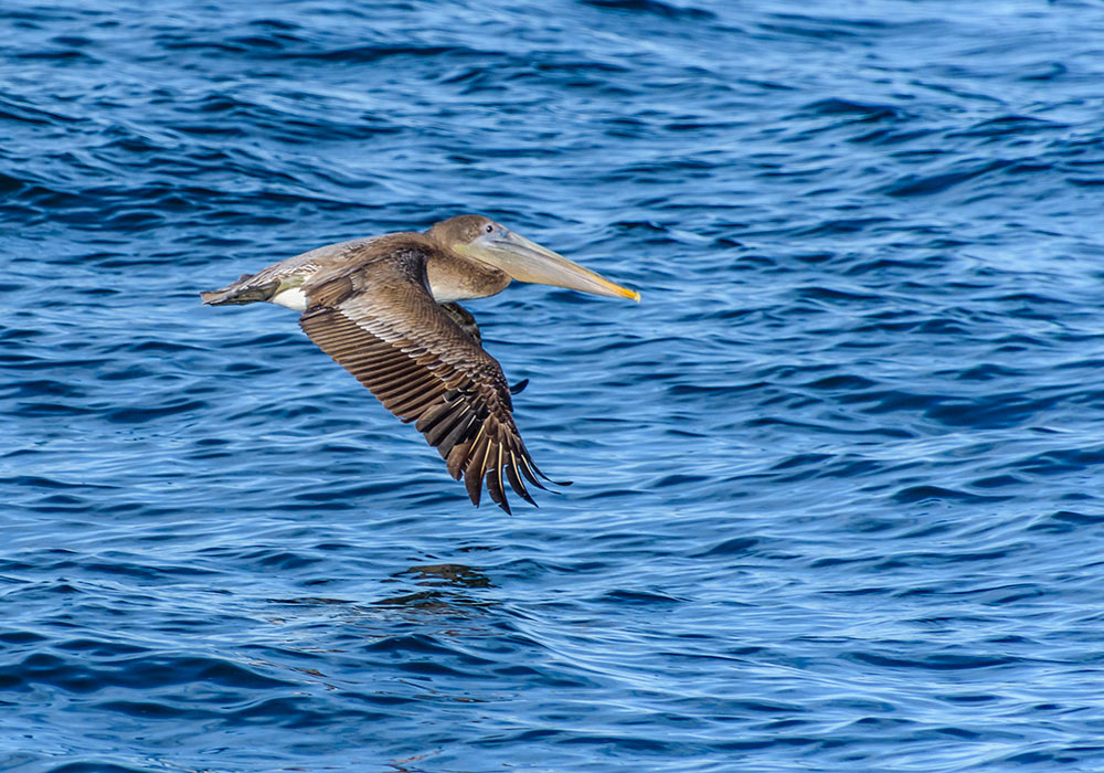 A brown pelican soars just above the water's surface.