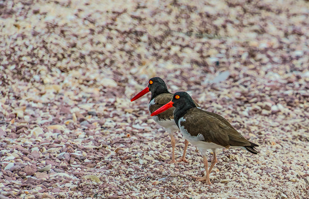 American oystercatchers in Baja
