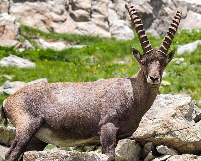 A single ibex near Mont Blanc