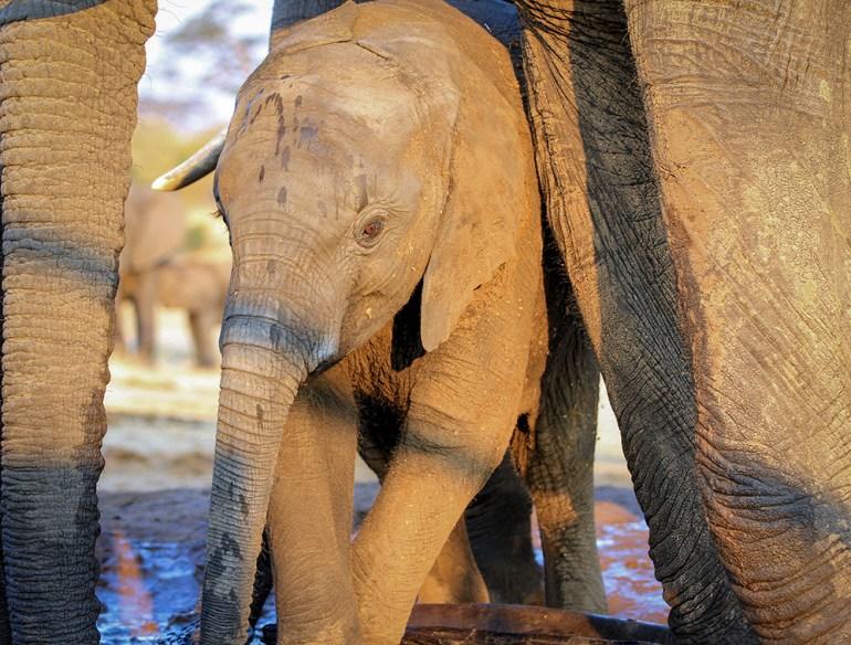 baby elephant in Zimbabwe