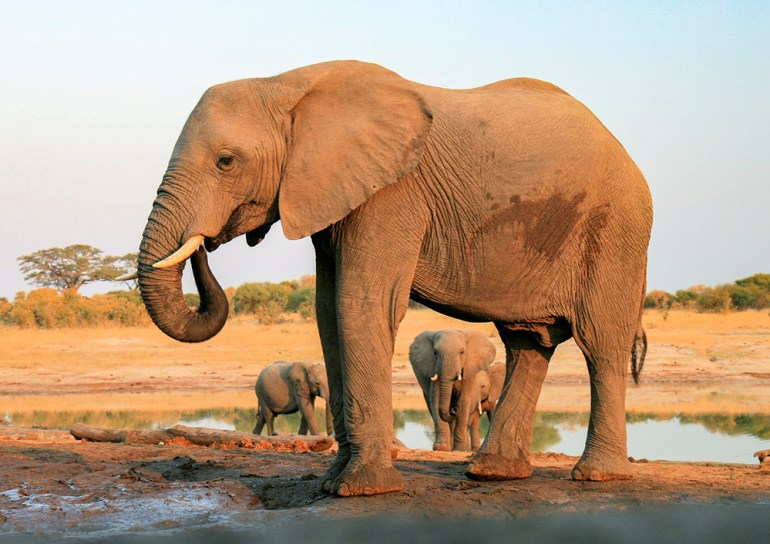 large elephant at water hole in Zimbabwe