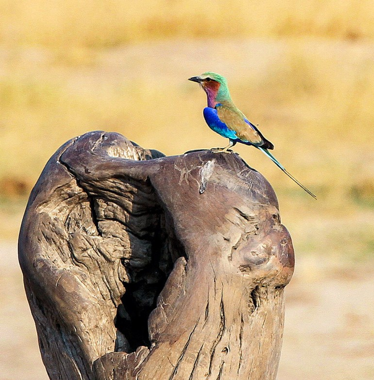 lilac breasted roller in Zimbabwe
