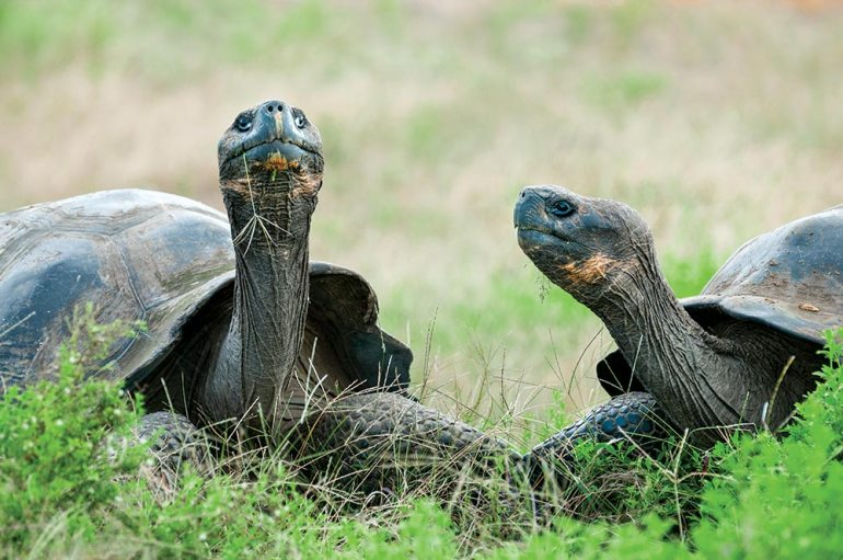 giant tortoise galapagos conservation