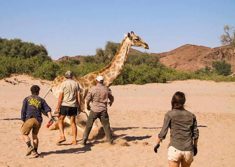 giraffer conservation