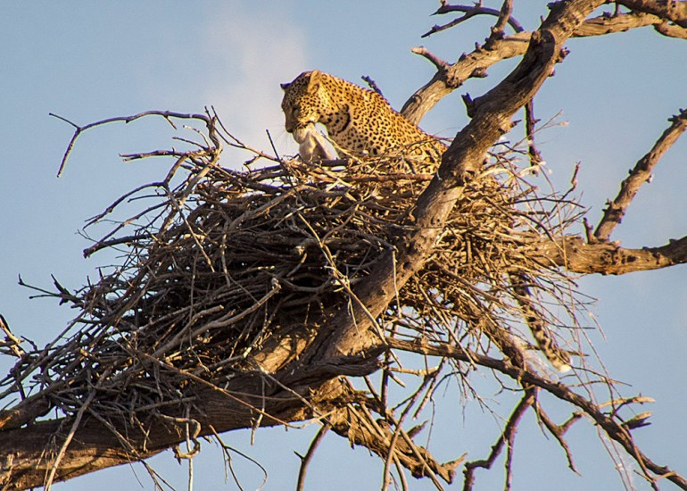leopard in fish eagle nest in Botswana