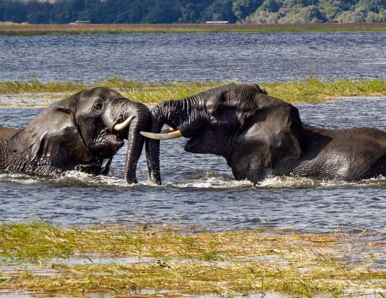 elephants in water in Botswana