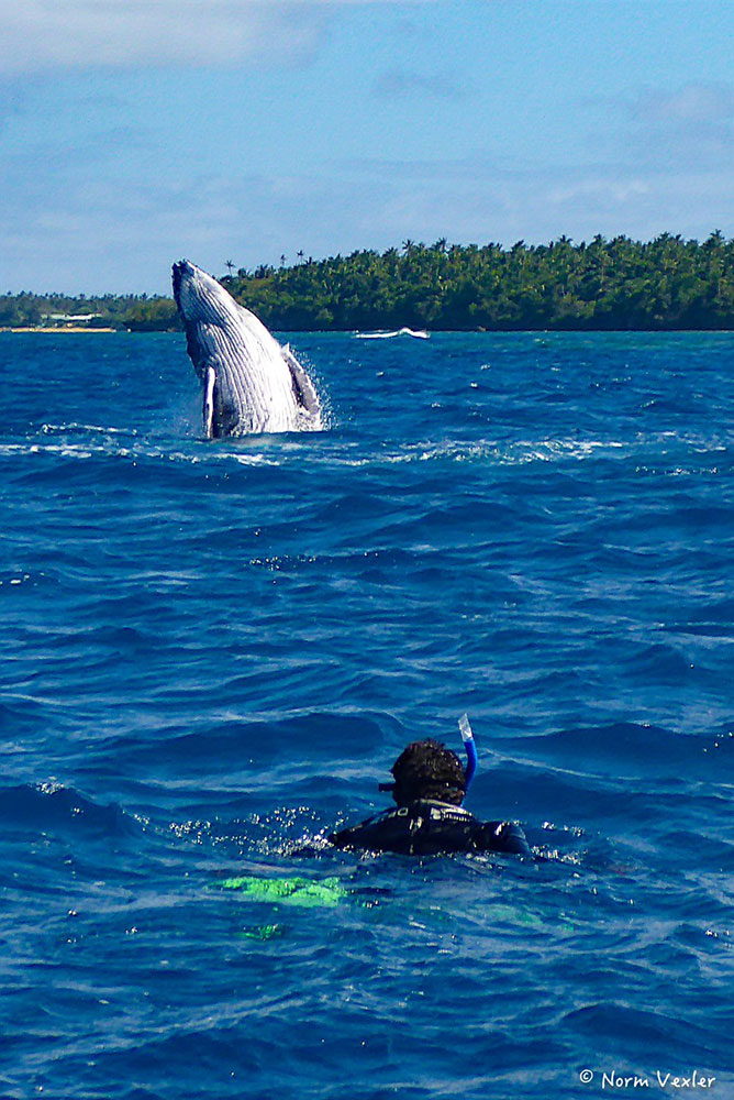 humpback breaching in tonga