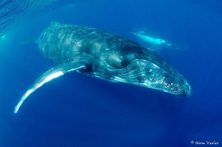 humpback whale swimming alongside calf in Tonga