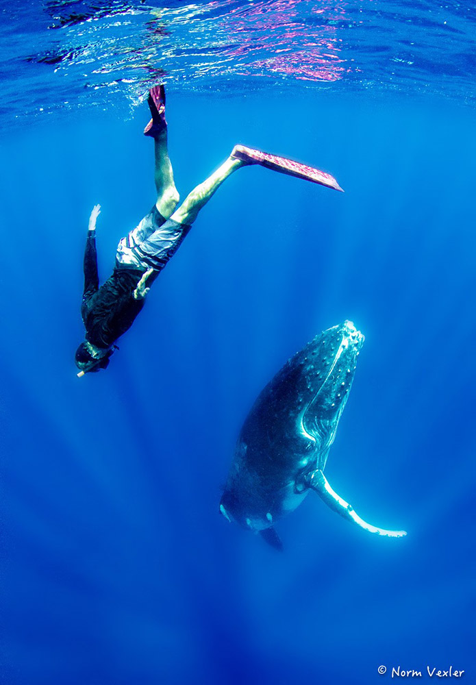 swimmer and humpback whale in Tonga