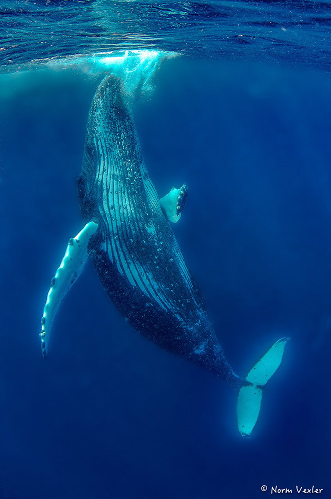 vertical humpback whale in Tonga