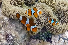 clown fish family raja ampat