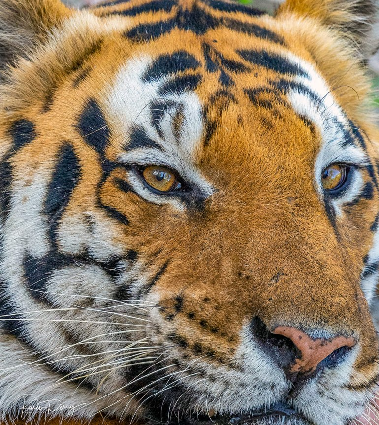 tiger face in india