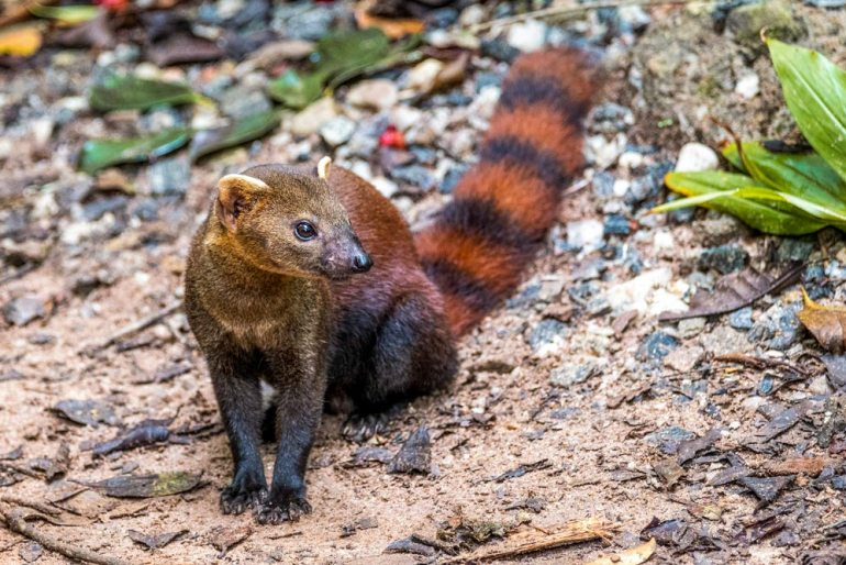 ring tailed mongoose in Madagascar