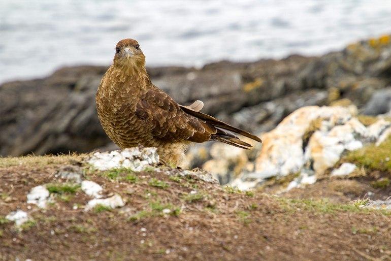 bird in tierra del fuego patagonia