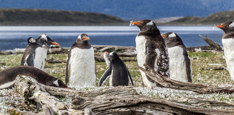gentoo penguins in tierra del fuego patagonia