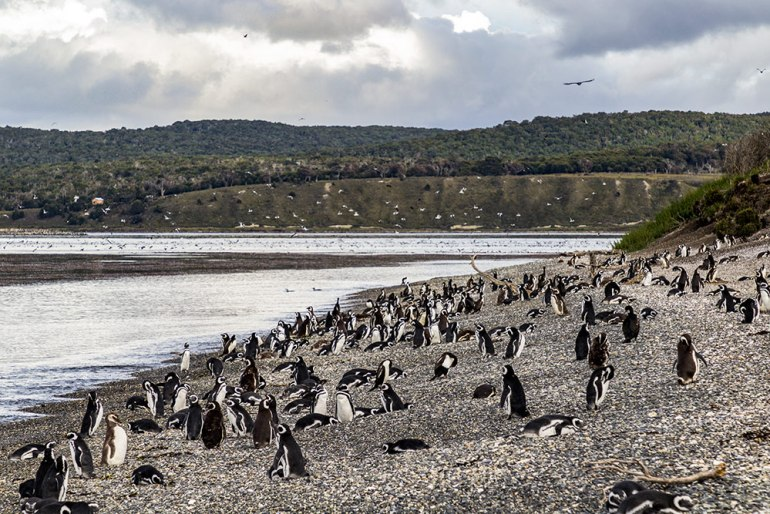 Penguin colony in tierra del fuego patagonia
