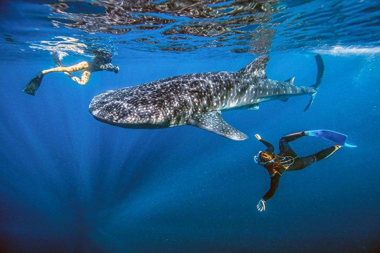 Baja-whale-shark-swimmers