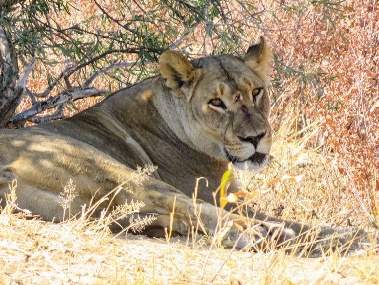 lioness in zimbabwe