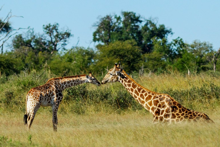 baby giraffe in Africa
