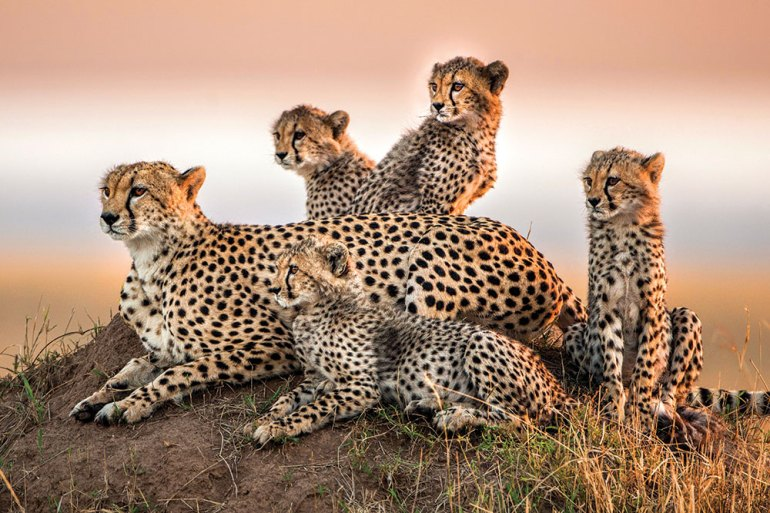 cheetah clan in Africa