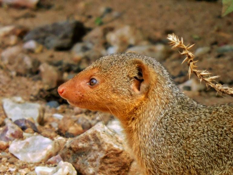 dwarf mongoose in the serengeti tanzania