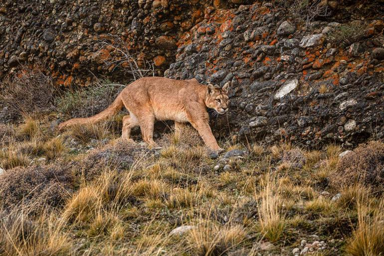 puma in patagonia argentina and chile