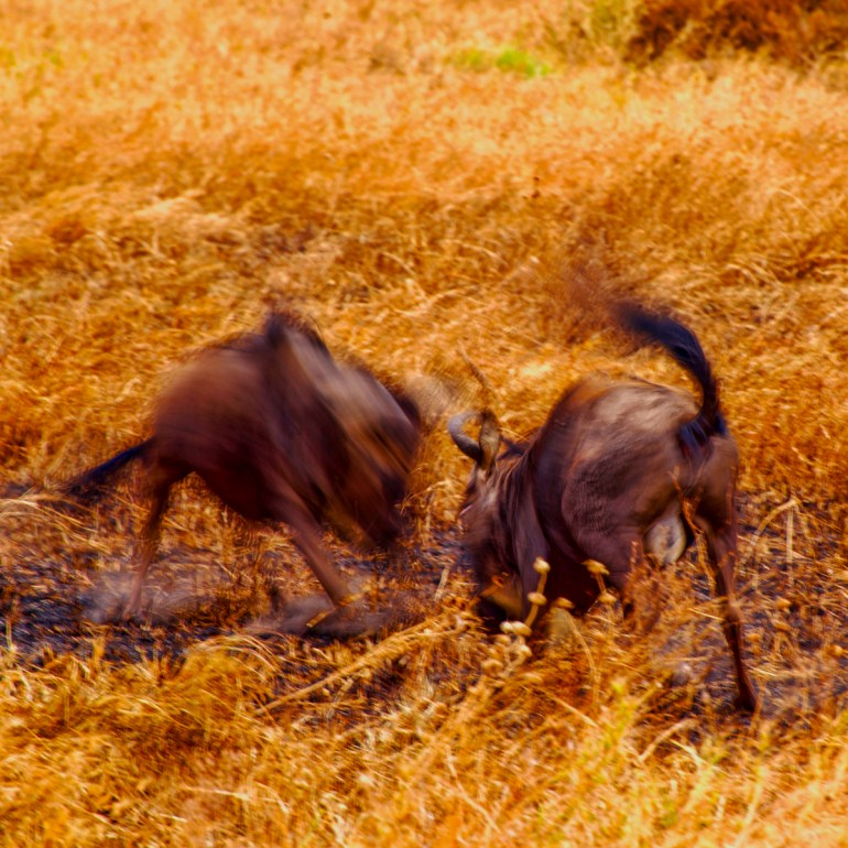 two male wildebeest fighting in the serengeti tanzania