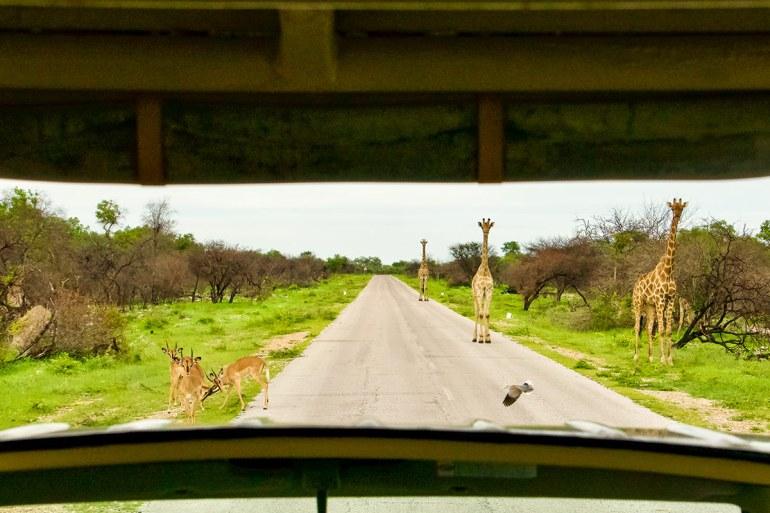 Namibia green season girrafe on road