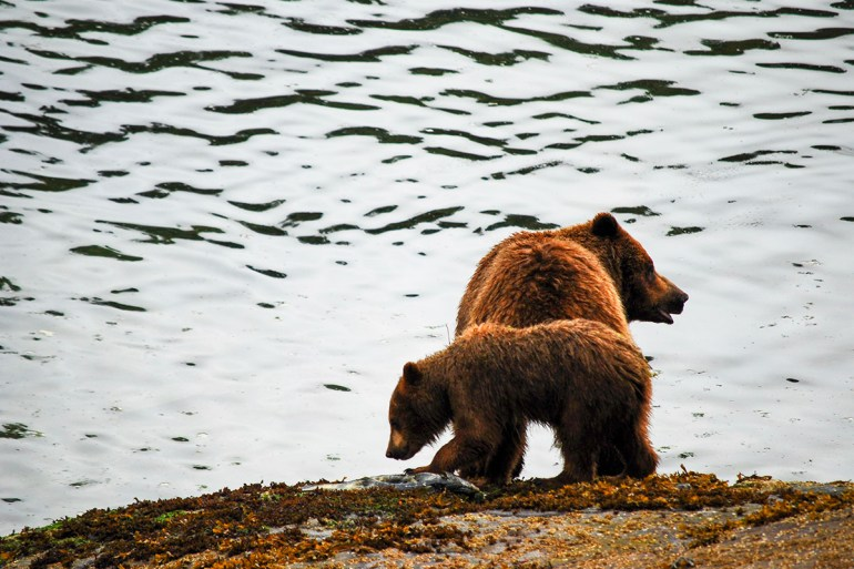 alaska inside passage grizzly and cub