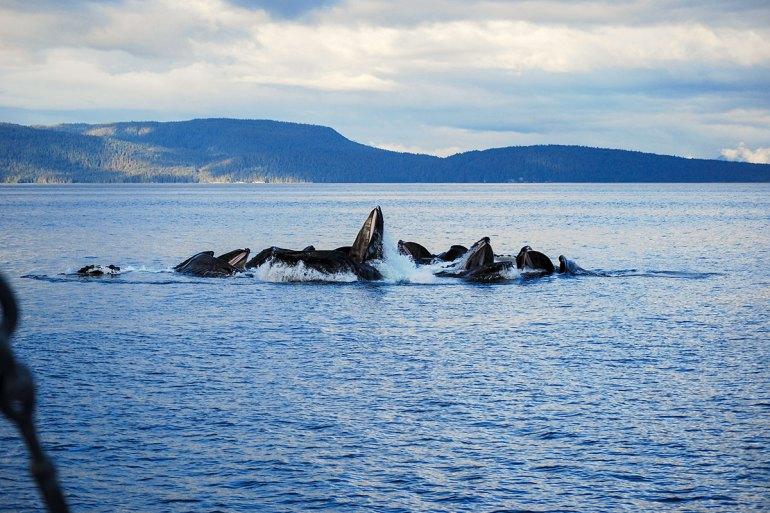 alaska inside passage whales bubble netting