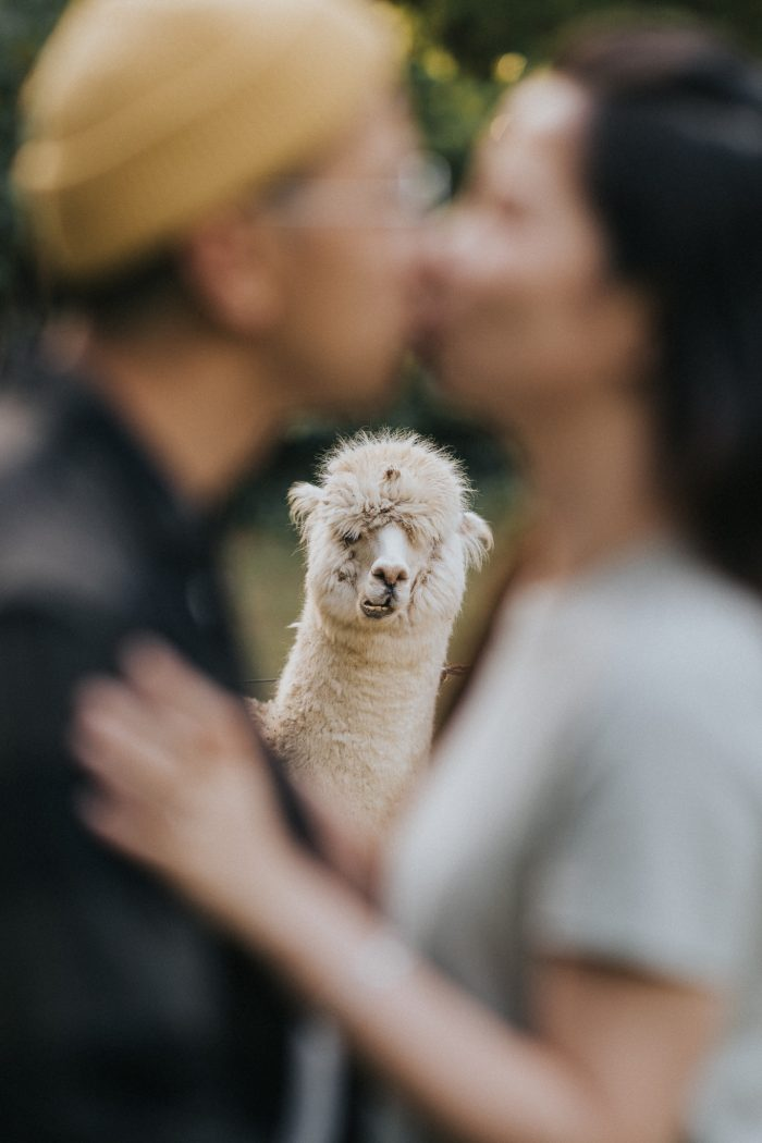 couple kissing in front of llama