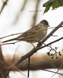 Black-headed Sparrow