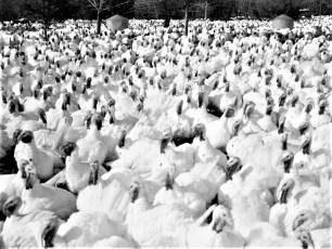 Thompsons Turkey Farm Craryville 1966 (1)