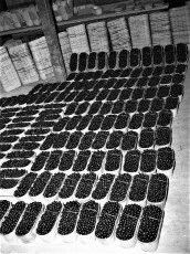 Cherries ready for shipping G'town 1951