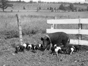 Gene Sarazen's pigs 1950 (2)