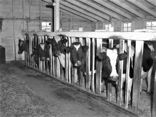 Kukon Dairy Farm G'town 1953 (1)