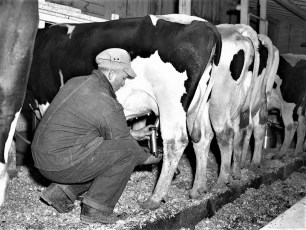 Kukon Dairy Farm G'town 1953 (7)