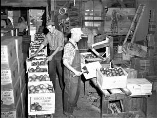 Vernon Rockefeller packing & shipping apples 1951 (4)