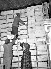 Vernon Rockefeller packing & shipping apples 1951 (5)