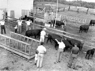 Angus showing at the Minard Rockefeller Farm G'town 1956 (1)