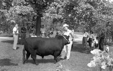 Angus showing at the Minard Rockefeller Farm G'town 1956 (4)