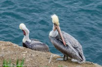 Pelicans grooming.