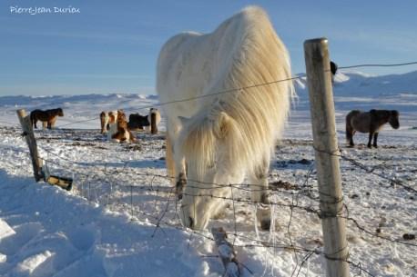 Chevaux Islandais, Péninsule de Vatnsnes, Islande