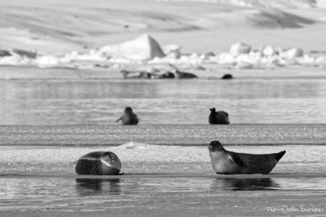 Phoques à Jokulsarlon, Islande, Mars 2016