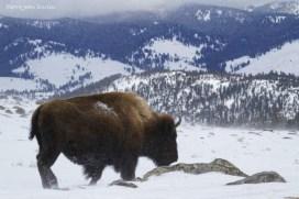 Bison au Parc National de Yellowstone, Etats-Unis, 23 Janvier 2017